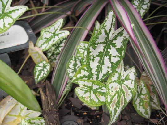 """""""Mini White"""" Caladiums (caladium humboldtii)"""