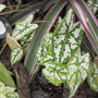 &quot;Mini White&quot; Caladiums (caladium humboldtii)