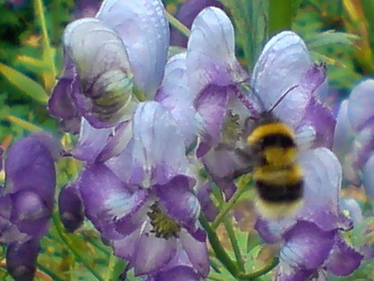 busy bee (aconitum (monkshood))