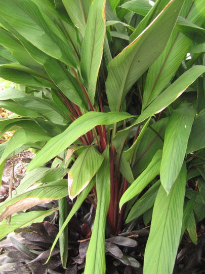 Red-Stem Heliconia (heliconia)