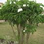 A garden flower photo (Plumeria pudica)