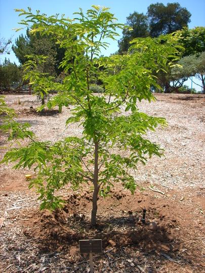 Tamarindus indica - Tamarind (Tamarindus indica - Tamarind)