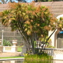 Acoelorraphe wrightii - Florida Everglade Palm (Acoelorraphe wrightii - Florida Everglade Palm)