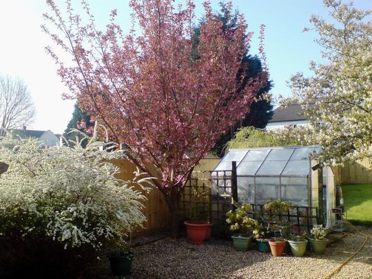 April Garden.   (Aronia (chokeberry) cherry (Kansan) Spirea (Bridal Reath).)
