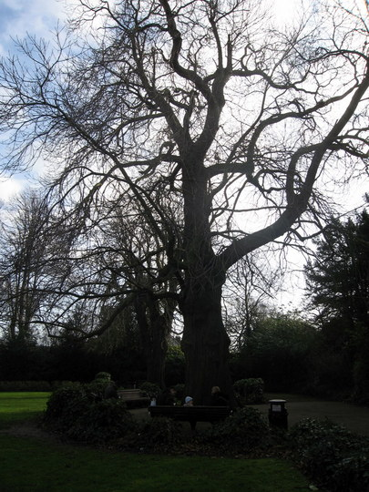 Chestnut tree, The Pageant Garden