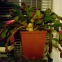 Lots more buds coming on the Christmas Cactus