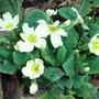 Primula vulgaris (Primula vulgaris)