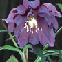 Helleborus_orientalis_harvington_double_purple_