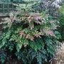 Mahonia_japonica_1