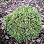Picea engelmannii 'Talbot Lake' (common name; Engelmann spruce)