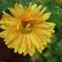 Gold_chrysanthemum