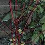 Mahonia_japonica_2