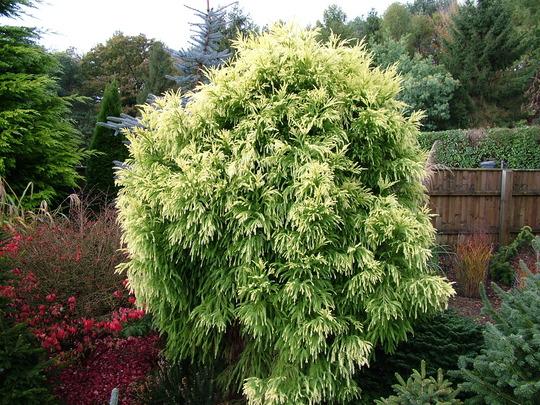 Cryptomeria japonica 'Sekkan-sugi' (common name; Japanese cedar)