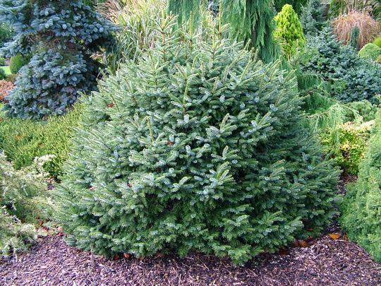 Picea omorika 'Nana' (common name; Serbian spruce)