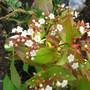 Viburnum  (Viburnum tinus)