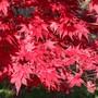 Japenese blood maple (Japenese blood maple)