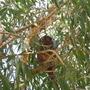 Australian Ringtail possum