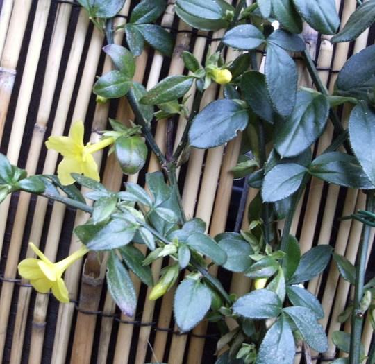 Winter Jasmine In Flower