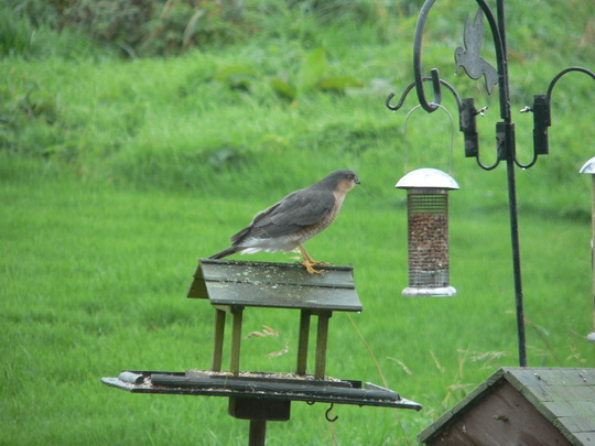 Look what landed on my bird table today!