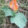 Kaz033_tulipa_greigii_3