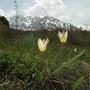 Kaz062_tulipa_kaufmanniana_14