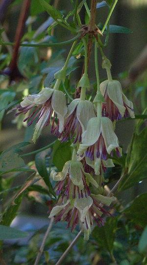 Clematis napaulensis (Clematis napaulensis)