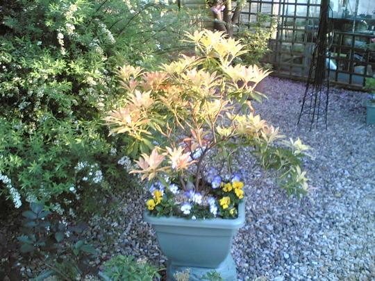 Pieris (Pieris japonica (Lily of the valley bush))