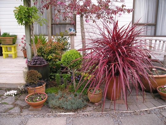 ~STUNNING RED FOUNTAIN CORDYLINE~