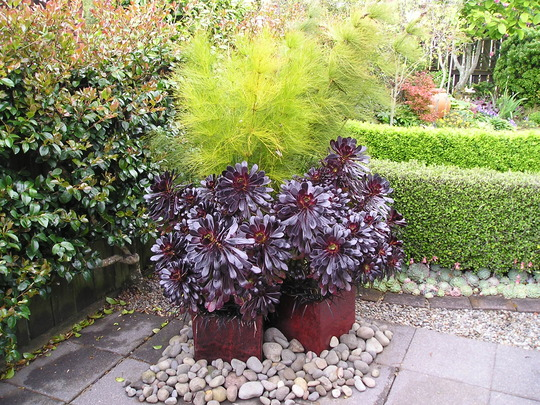 Black Aeonium in pots (Black Aeonium)
