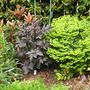 LIME GREEN EUPHORBIA AND CHOCOLATE FOLIAGE DAHLIA
