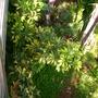 Schefflera arboricola 'variegata' (Schefflera arboricola 'variegata')