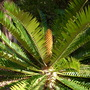 Encephalartos altensteinii - Prickly Cycad (Encephalartos altensteinii - Prickly Cycad)