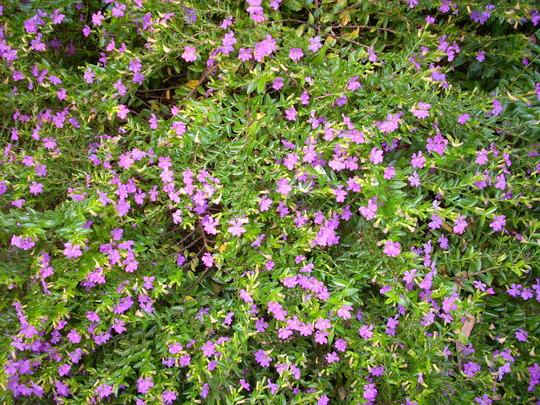 Cuphea hyssopifolia - Mexican False Heather (Cuphea hyssopifolia - Mexican False Heather)