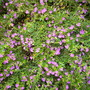 Cuphea hyssopifolia - Mexican False Heather (Cuphea hyssopifolia - Mexican False Heather)