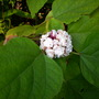Clerodendron phillipinum - Clerodendron (Clerodendron phillipinum - Clerodendron)