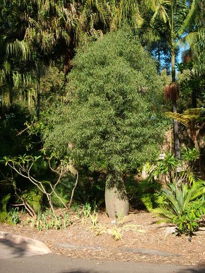 Brachychiton rupestris - Queensland Bottle Tree (Brachychiton rupestris - Queensland Bottle Tree)