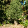 Brachychiton rupestris - Queensland Bottle Tree (Brachychiton rupestris - Queensland Bottle Tree)