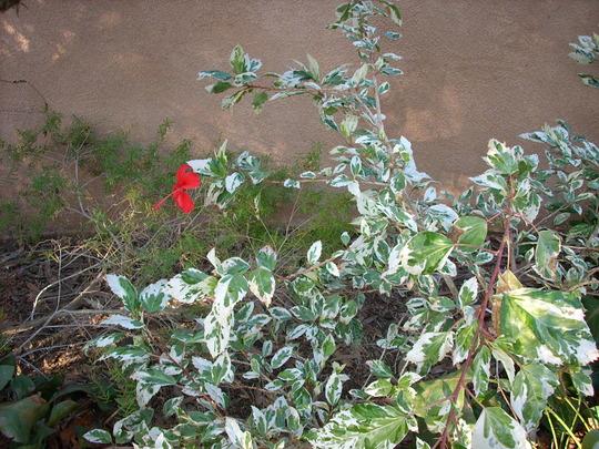 Hibiscus schizopetalus 'variegata' (Hibiscus schizopetalus 'variegata')