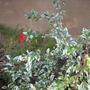 Hibiscus schizopetalus 'variegata'