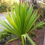 Doryanthes palmeri - Globe Spear Lily (Doryanthes palmeri - Globe Spear Lily)