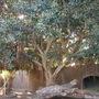 Ficus rubiginosa - Rusty Fig  (Ficus rubiginosa - Rusty Fig)