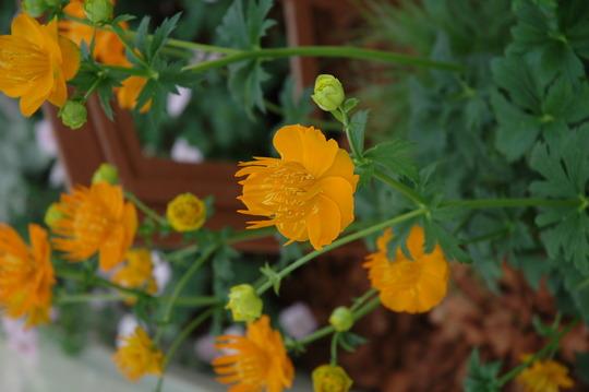 Trolius (Trolius chinensis)