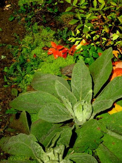 new plants...basal rosette...Mullein...Verbascum thapsus... is biennial. (verbascum thapsus)