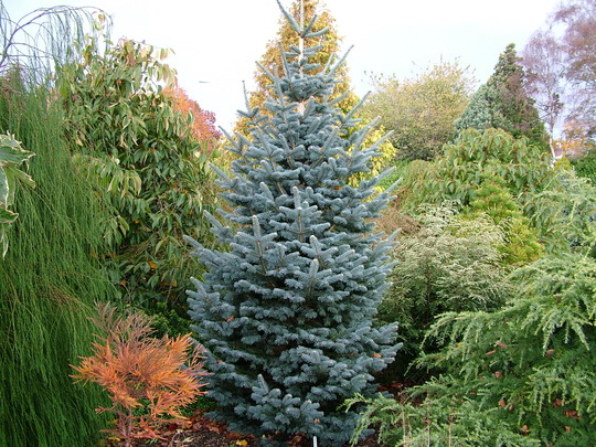 Abies lasiocarpa 'Kenwith Blue' (Abies lasiocarpa (alpine fir))