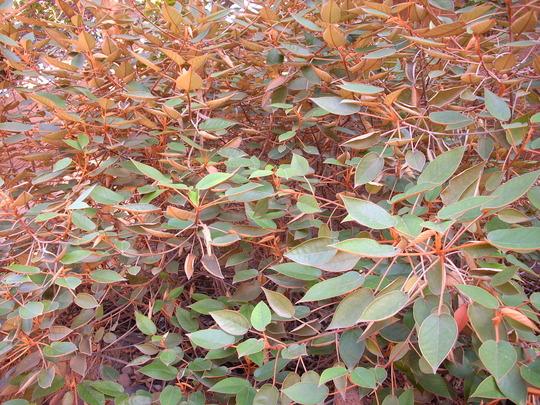 Trochetiopsis ebenus - St. Helena Ebony (Trochetiopsis ebenus - St. Helena Ebony)