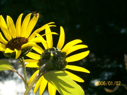 Sunflowers in October in NY (Helianthus annuus (Sunflower))