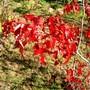 Autumn colour (Acer ginnala)