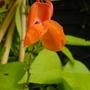 1 runner bean flower (Phaseolus coccineus (Runner bean))