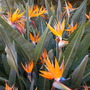 Strelizia reginae - Bird of Paradise (Strelizia reginae - Bird of Paradise)
