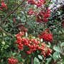 Pyracantha_with_red_berries
